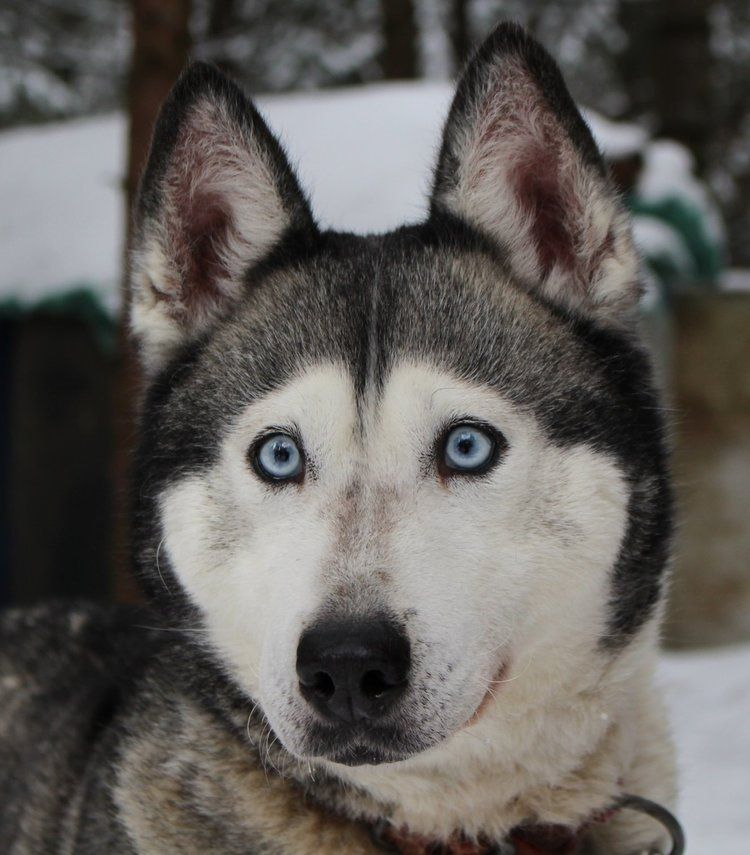 Read This Week S Holistic Pet Tip On Vision Pawromatherapy Holisticpettips Husky Pettips In 2020 Holistic Pet Dog Love Dogs