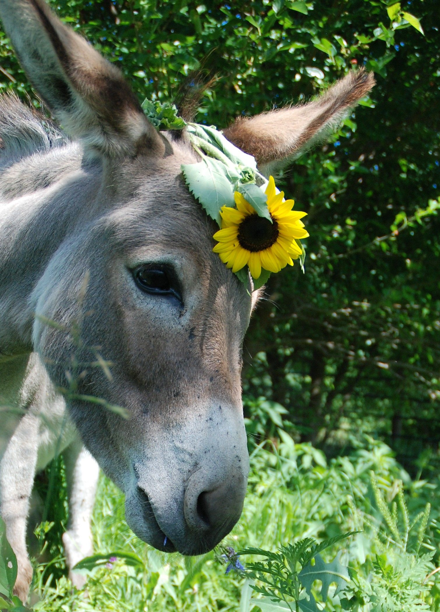 so coy. and sunflower. Animals beautiful, Cute donkey