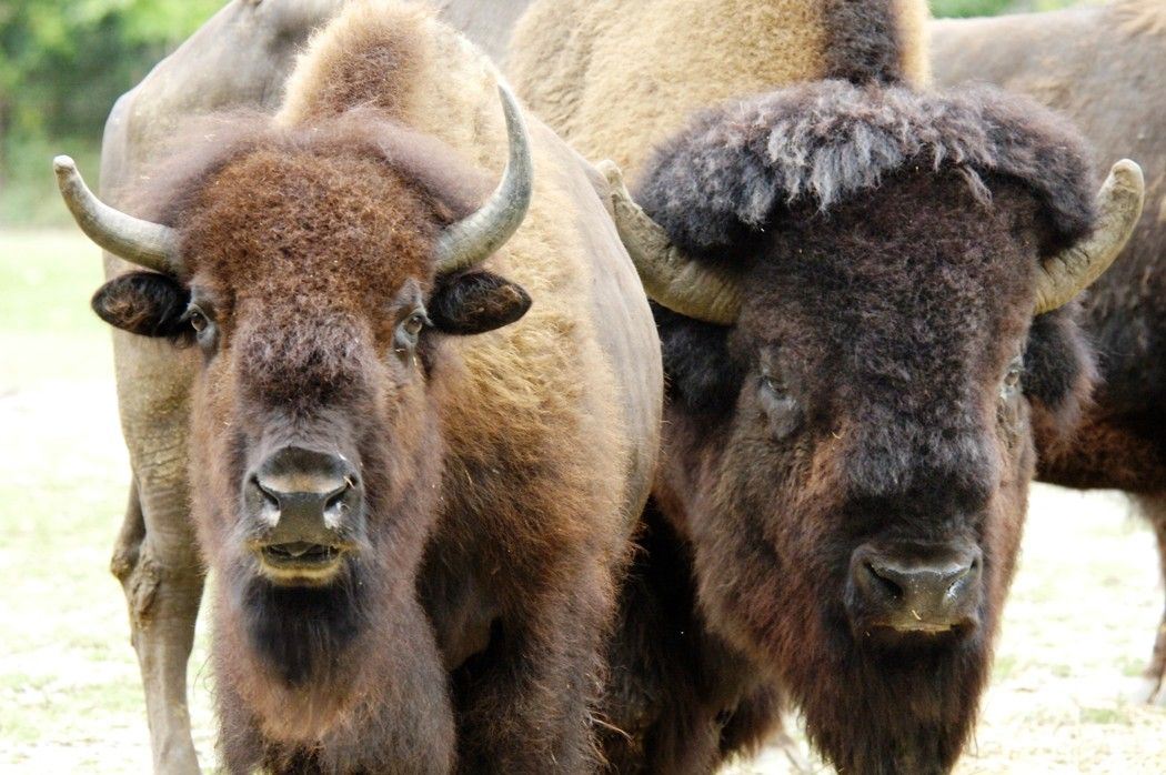 A Pair Of American Bison Are Seen At The Bronx Zoo Julie Larsen