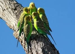 Resultado de imagem para волнистые попугаи