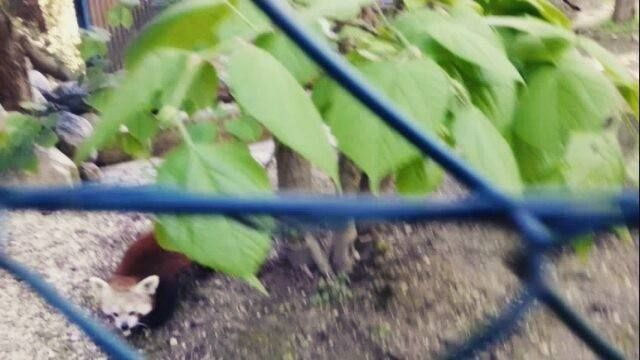 Red Panda Pim At Zoo Linz In Austria He Was Born In Bratislava