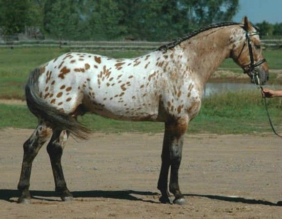 bay near leopard - Appaloosa x Friesian stallion Grand ...