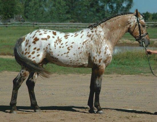 bay near leopard - Appaloosa x Friesian stallion Grand