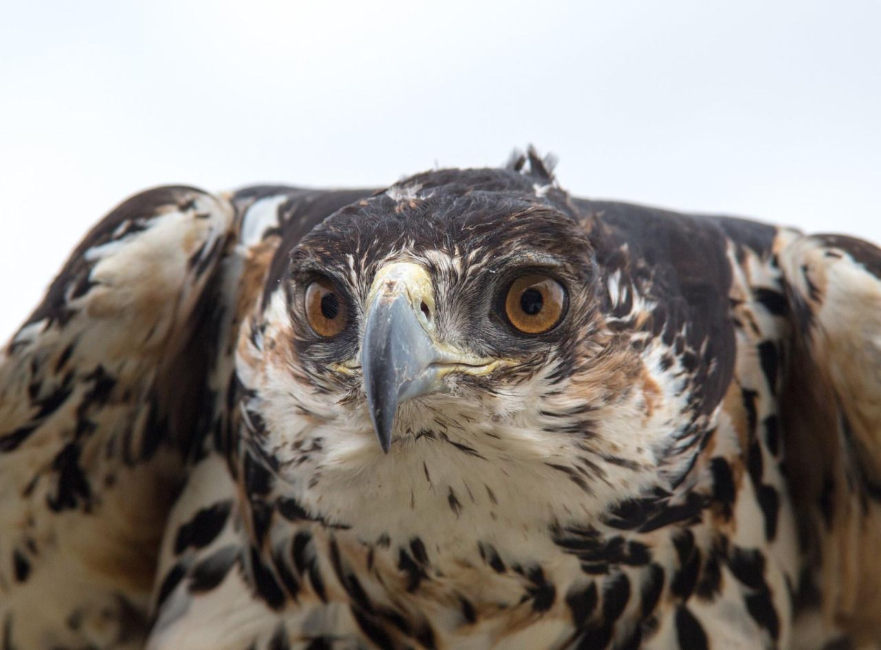 Crowned Eagles aka Crowned Hawk-Eagles | Beauty of Birds  |African Crowned Eagle Falconry