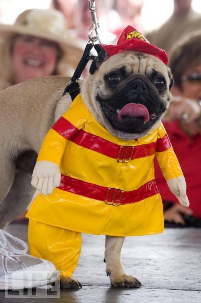 A Pug Dressed Up W A Fire Coat Hat Dog Halloween Costumes