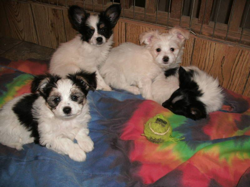 Maltese Papillon Mix Puppies Papillon Mix Kittens And Puppies Maltese Puppy