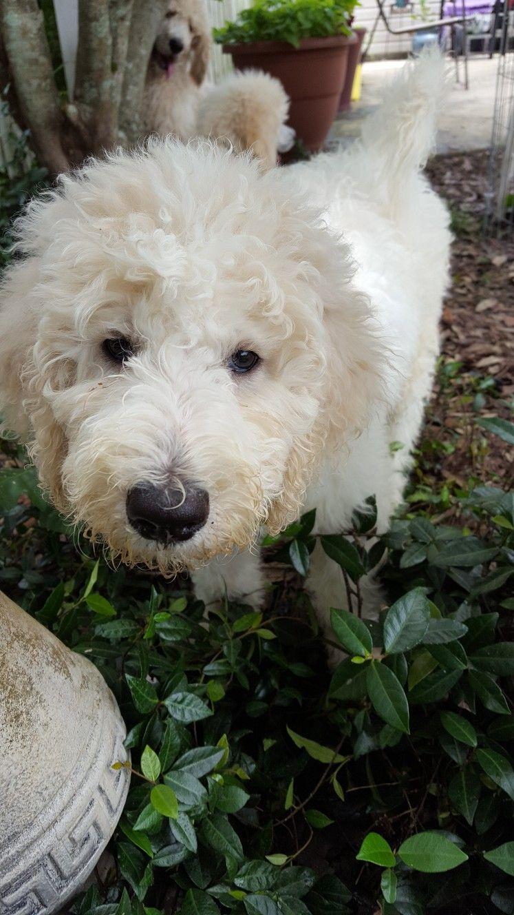 Louie A 3 Month Old Standard Poodle Puppy Poodle Puppy Poodle