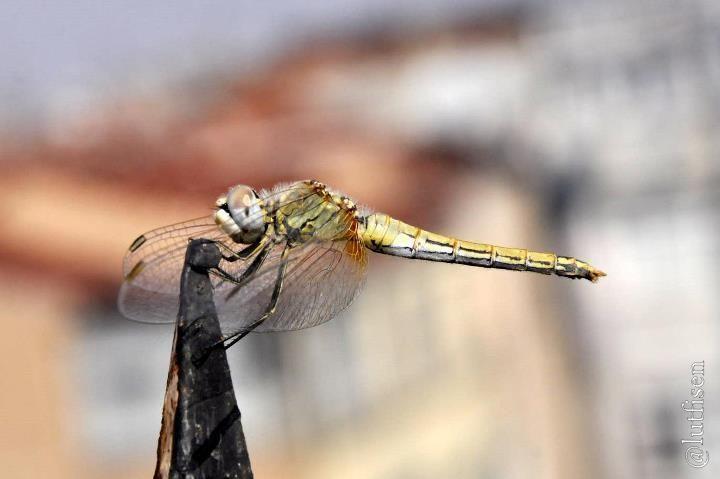 bu da İstanbullu yusufcuk evimin terasında görüştük