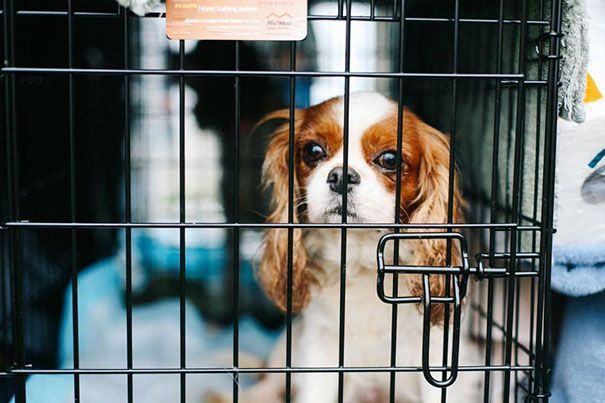 Volunteers Rescue 108 Abused Dogs From Breeding Farm King Charles Cocker Spaniel Rescue Puppies King Charles Puppy