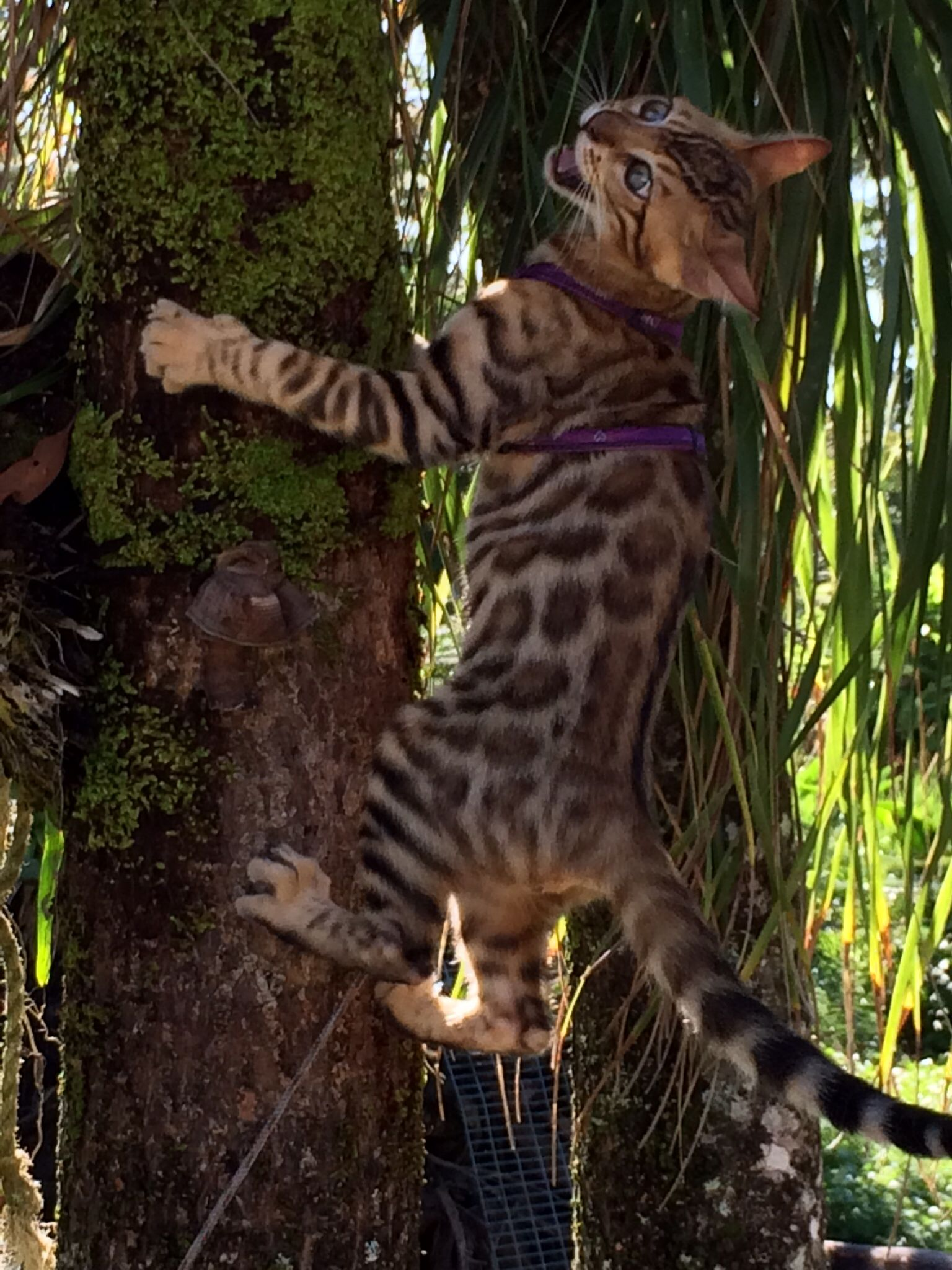 Bengal cats zeus loves climbing the ponytail palm and