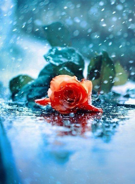 Image%20result%20for%20rose%20under%20rain%20pinterest