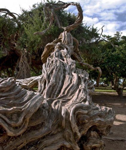 The Australian Tea Tree (Leptospermum laevigatum) has a beautiful texture running up its trunk, the bark creates visually wonderful range of shaddows along it.