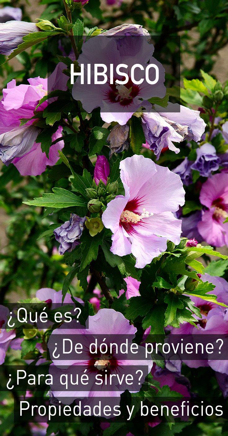 Hibisco propiedades beneficios para la salud efectos for Planta decorativa con propiedades medicinales