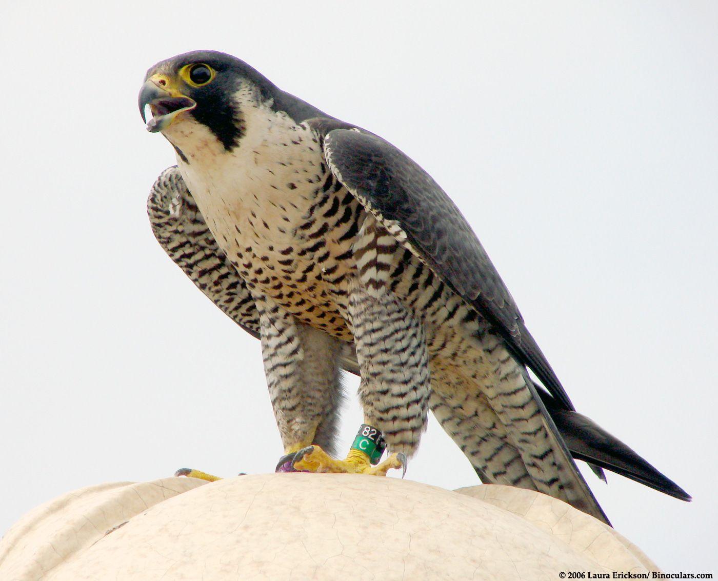 Peregrine Falcon Peregrine Falcon Peregrine Raptors Bird