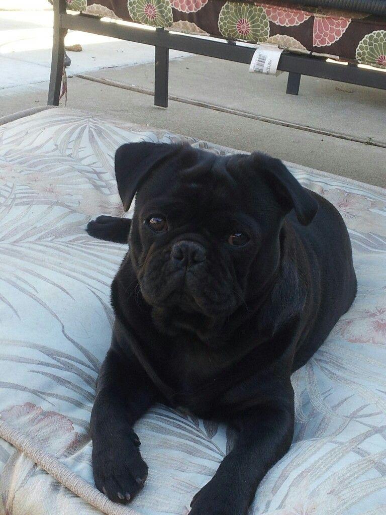 Black pug Cute pugs, Black pug, Pugs