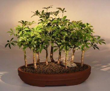 Hawaiian Umbrella Bonsai Tree9 Tree Forest Group(arboricola schefflera 'luseanne')-Indoor Bonsai Trees - Oxemize.com