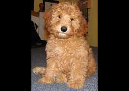 Screened Doodle Breeders To Ensure The Best Possible Options For A