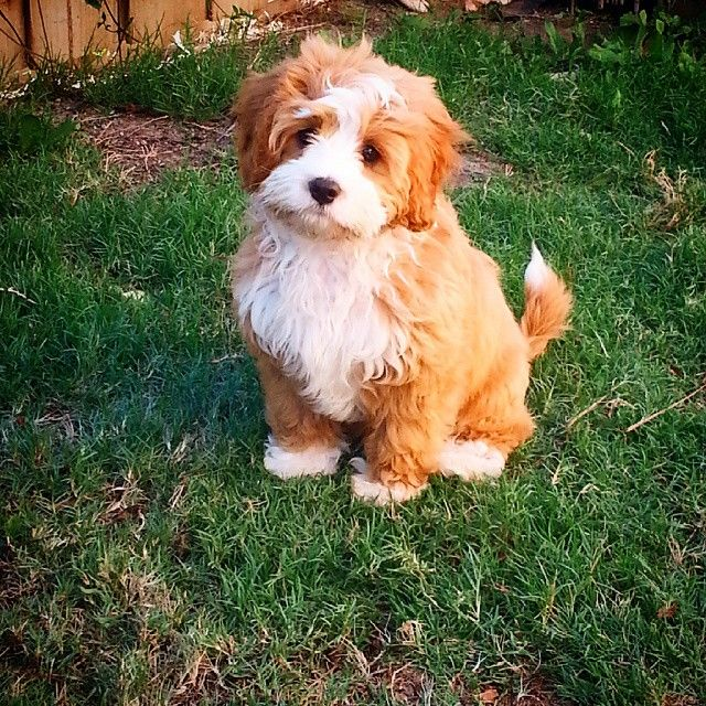 Marley The Cavoodle Puppy Tales Cute Dogs Puppies Poodle Mix