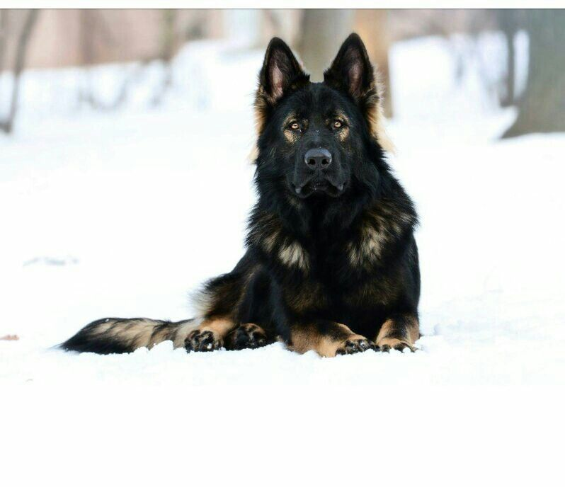 Jethro Gorgeous Black Sable German Shepherd Blue German Shepherd Shepherd Dog Black German Shepherd