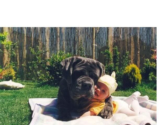 Mi lindo amiguito, un mastín napolitano, nos enseñará, ¿cómo abrazar a un bebé?; por favor sigan sus indicaciones.