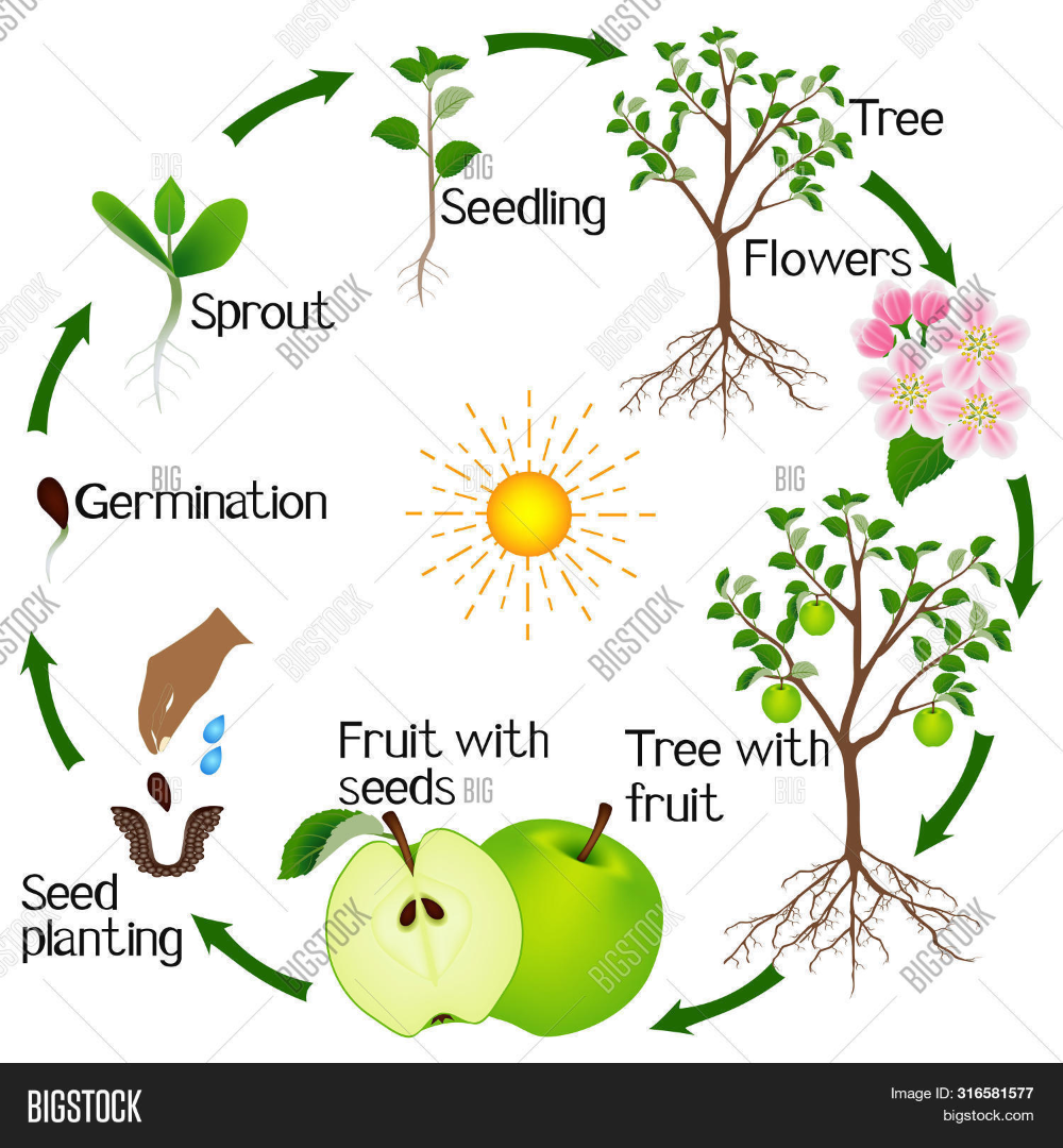 Apple Tree Life Cycle Vector Photo Apple Tree Life Cycle Tree Life Cycle Apple Tree