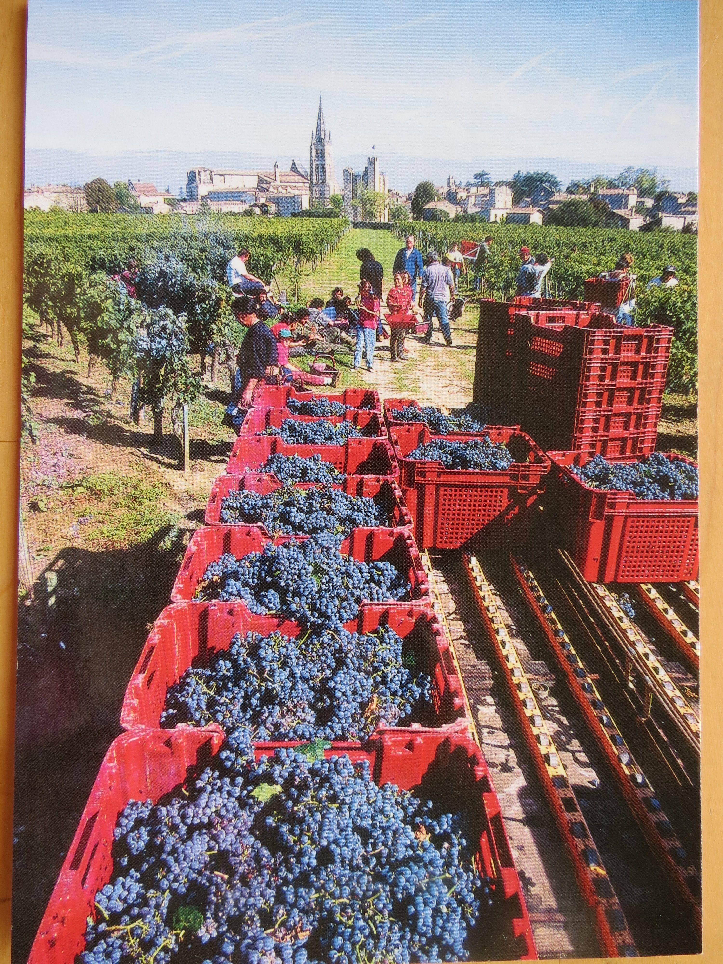 Wine Harvest In Bordeaux France