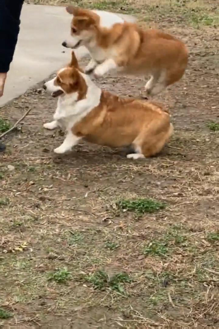 Happy bouncing corgi ������������������ #dogs #corgi #funnydogs #funnyanimals #cuteanimalshare #dogmemes