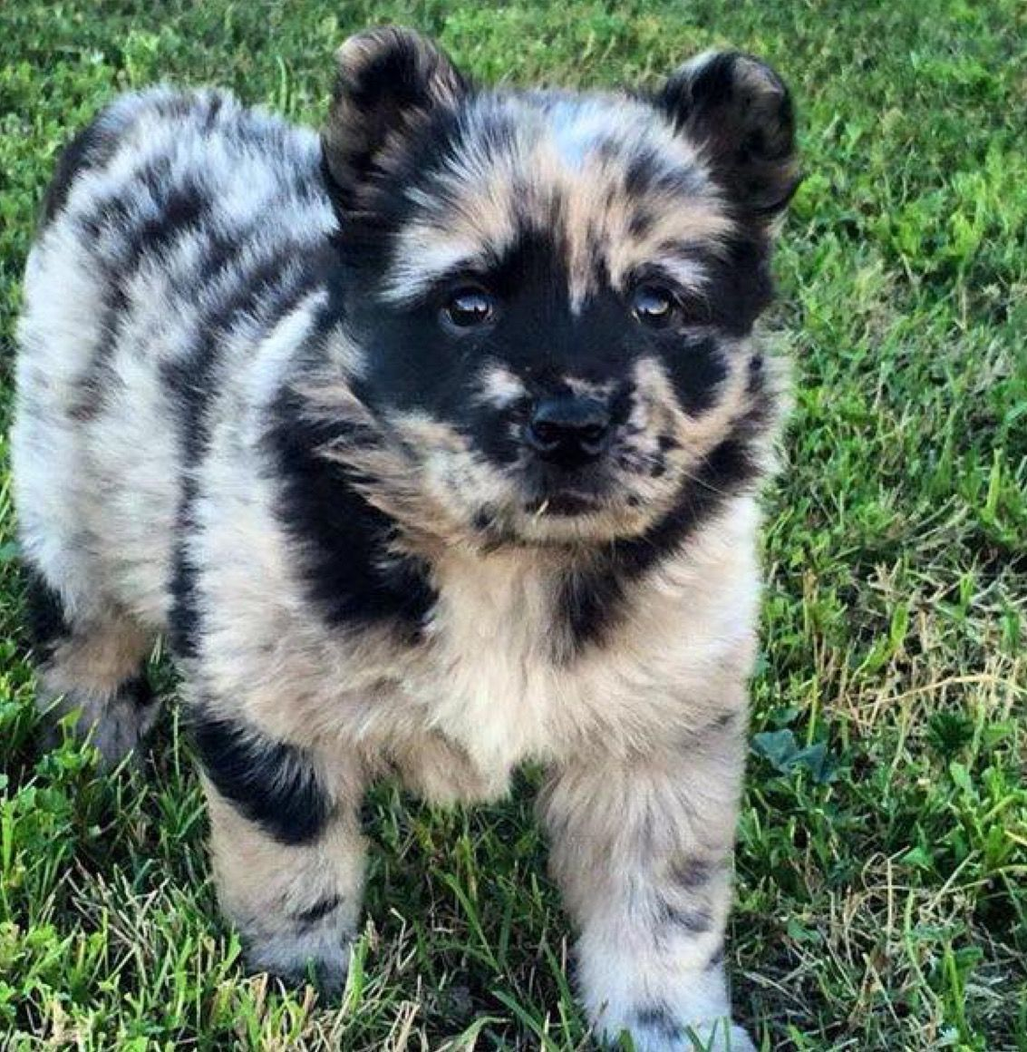 Chow Chow Aussie Mix Cute Animals Dogs