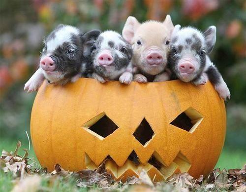 Pigs tumblr halloween pigs pinterest animal teacup pig pigs tumblr halloween voltagebd Choice Image