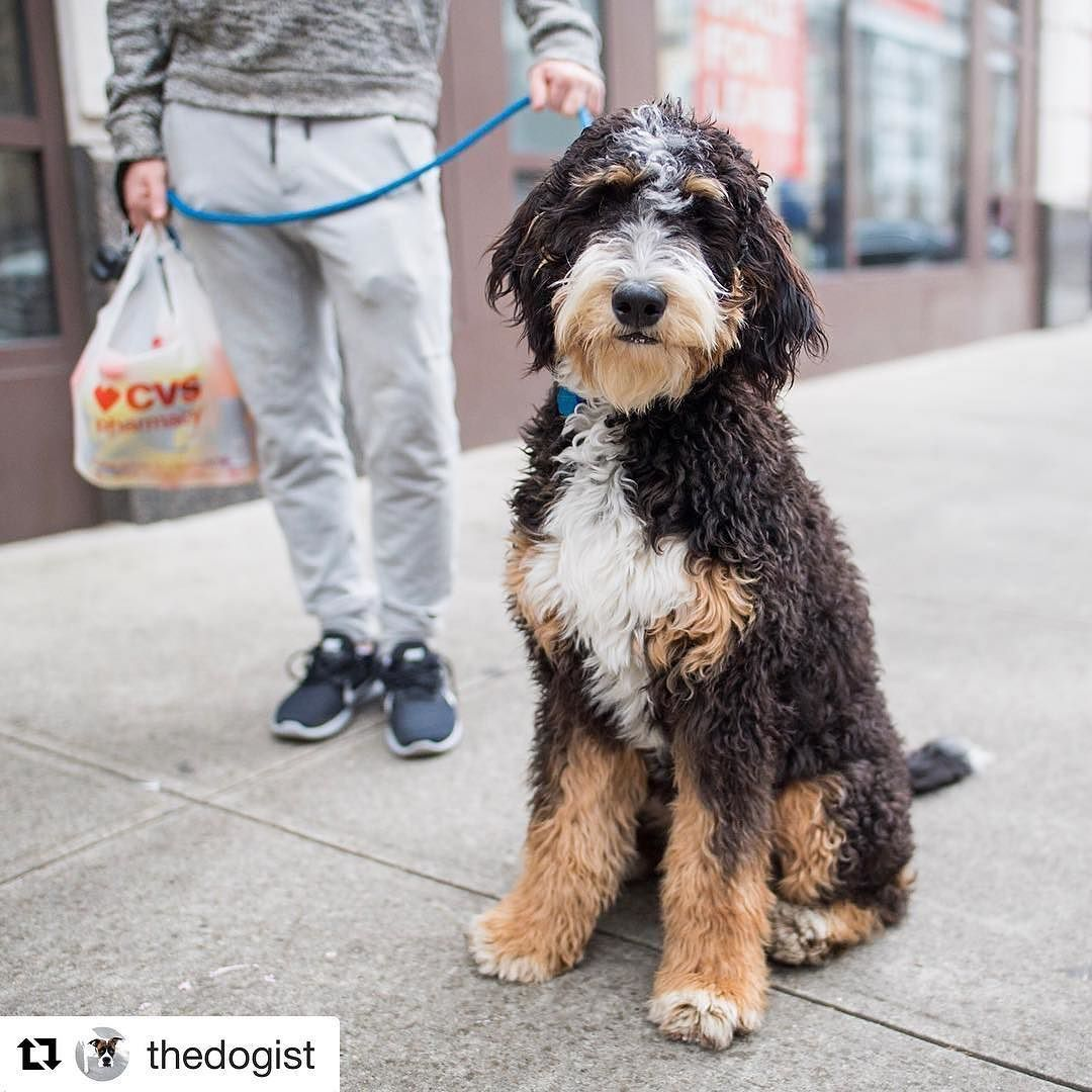 Mia Is Famous Dany Standard Bernedoodle From Lexi X Hudson