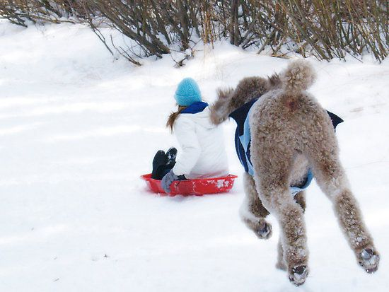 Our 15 month old Standard Poodle Charlie chasing kids in the snow.