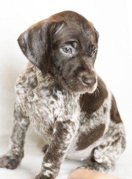 German Shorthaired Pointer Puppy For Sale In Shingle Springs Ca