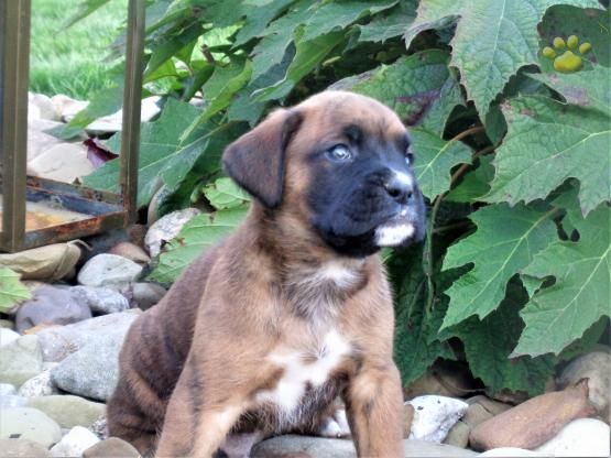 Bandit Boxer Puppy for Sale in Millersburg, OH
