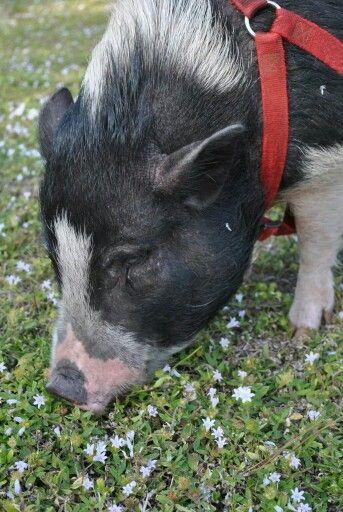 My first piggy love, Willy.