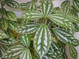 Aluminio Pilea Cadierei Plantas Mini Plantas E Plantas Rasteiras