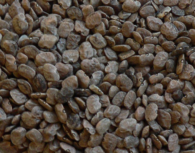 San Pedro Tepary (Phaseolus acutifolius var. latifolius)