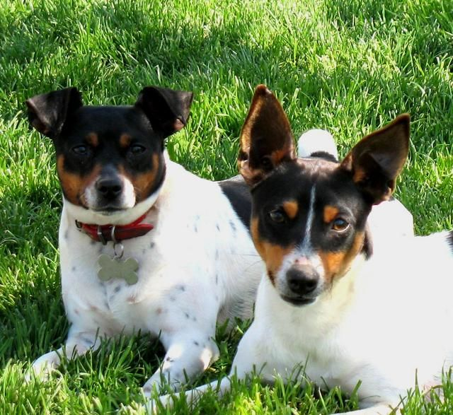 Clearbrook Kennels Rat Terrier Breeder And Puppies In Washington