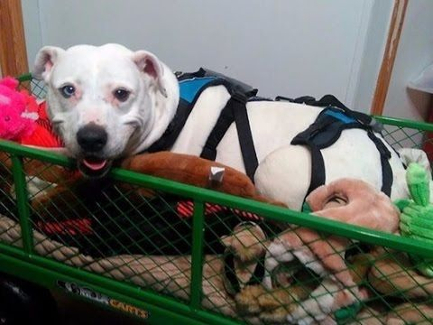 Disabled Dog Still Fighting After Finally Getting Adopted With Images Dogs