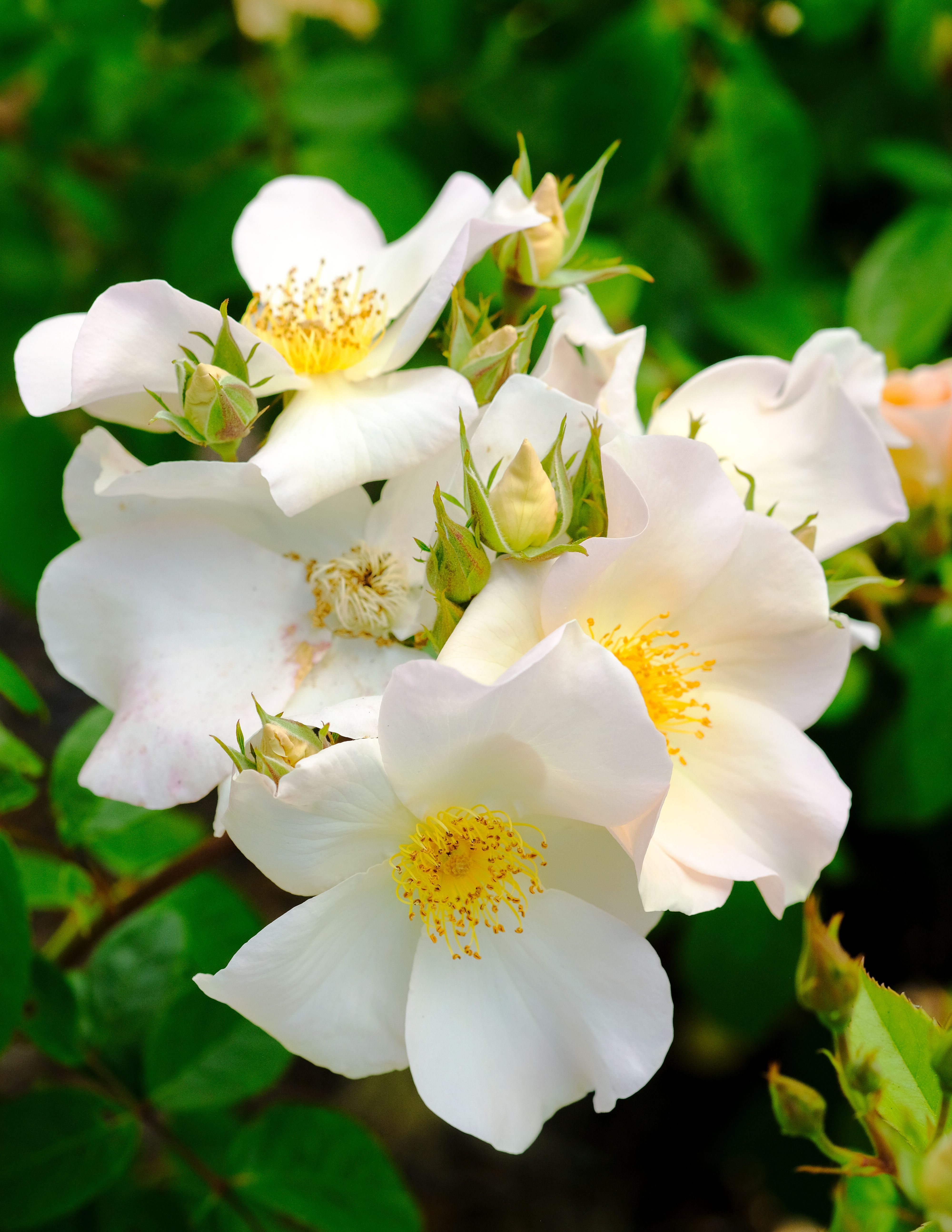 Best Varieties For Your Rose Garden Climbers Shrub And Cut Flowers