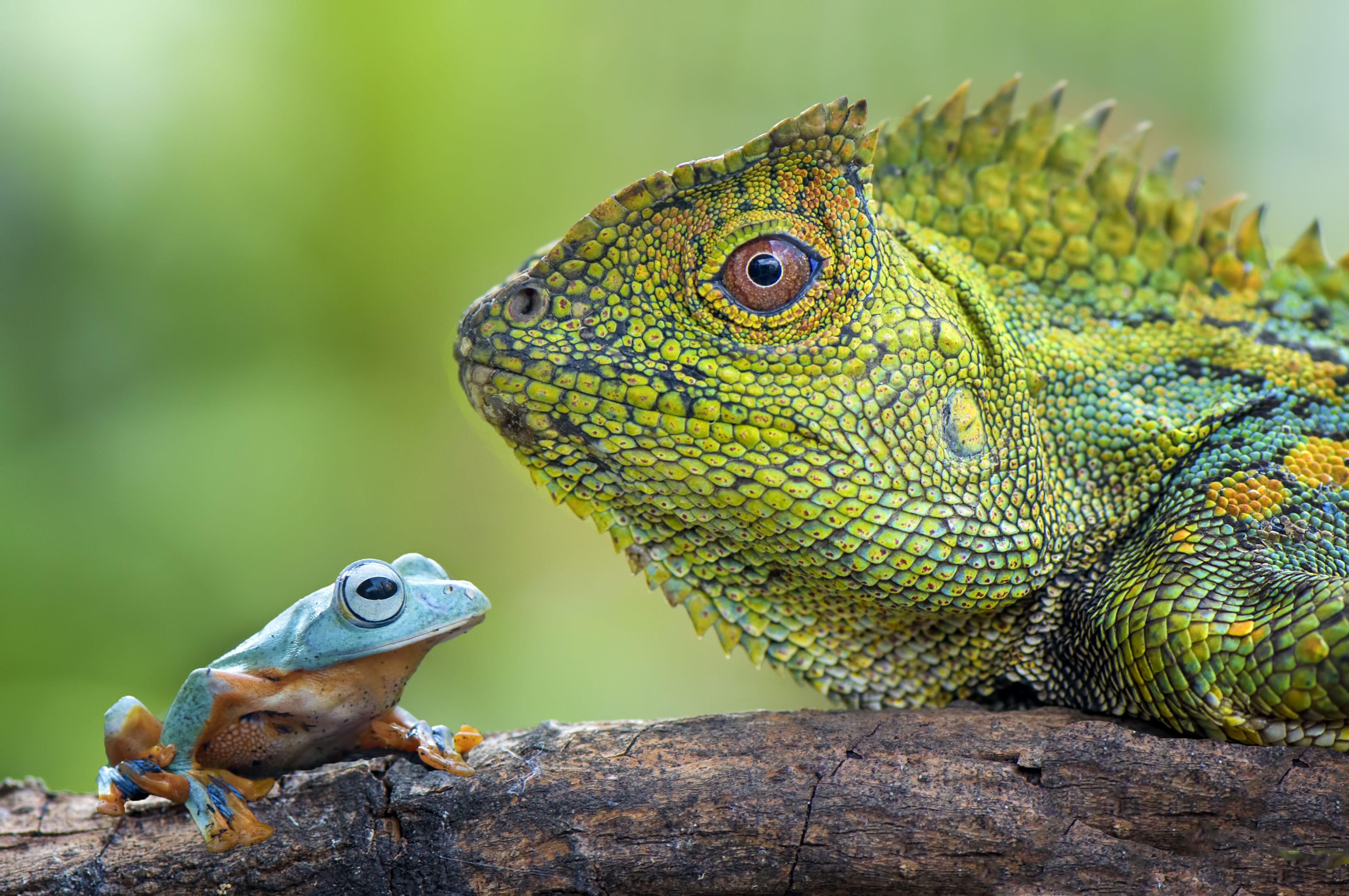 Flying Frog And Dragon Forest Face To Face Lizard Animals