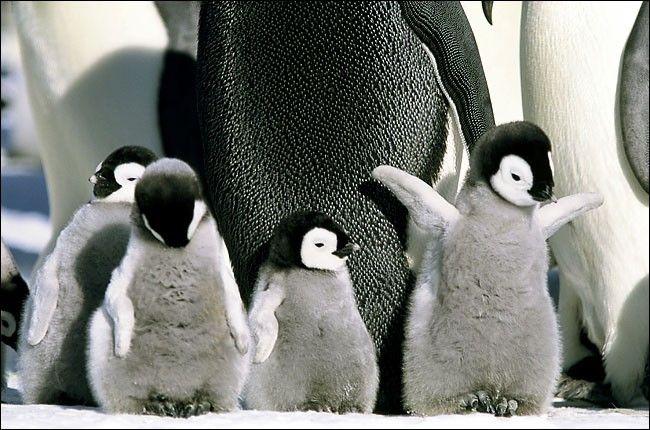 Fluffy Baby Penguins.