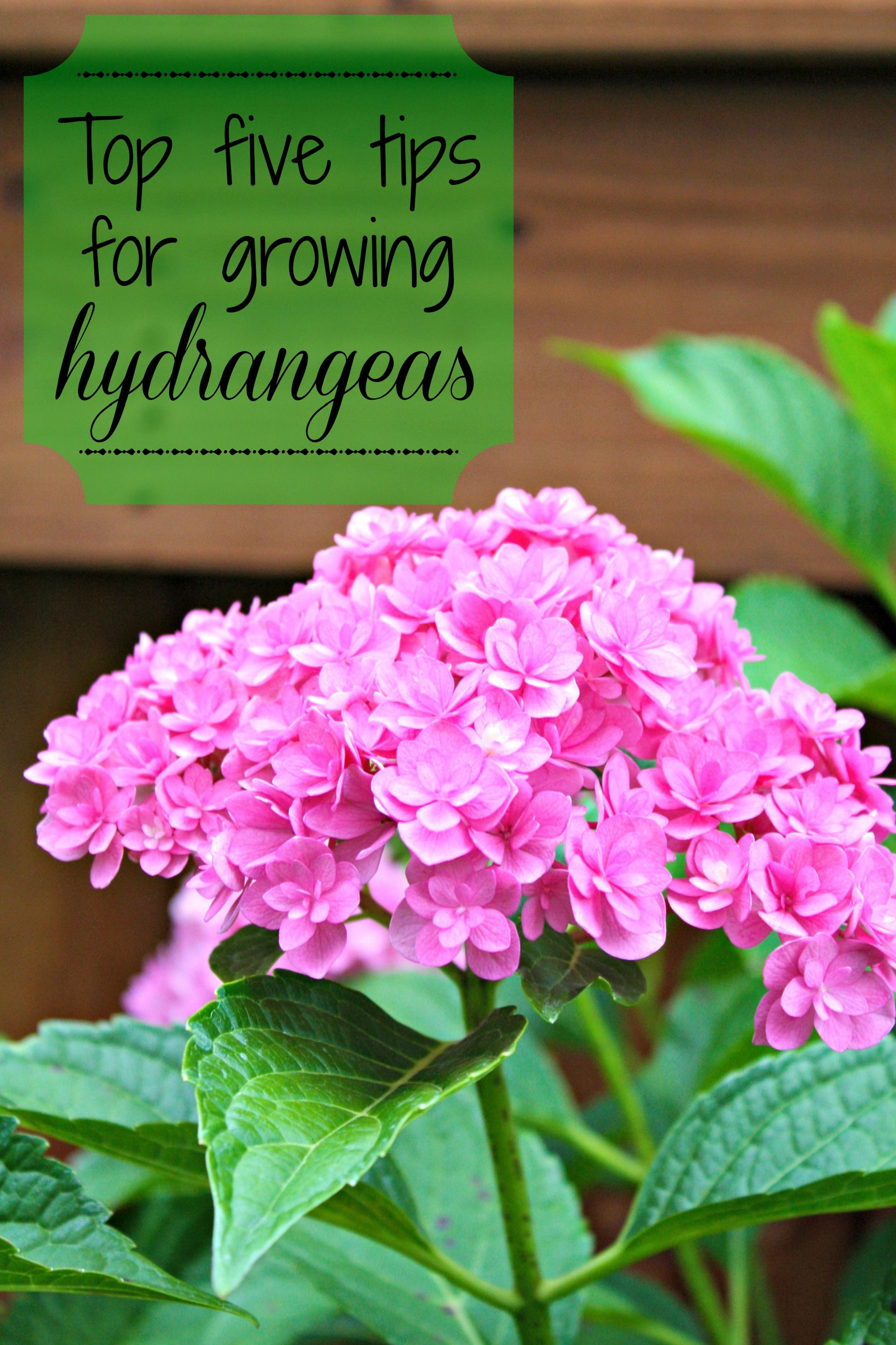 July In Review And No Spend August Growing Hydrangeas Hydrangea Garden Lawn And Garden