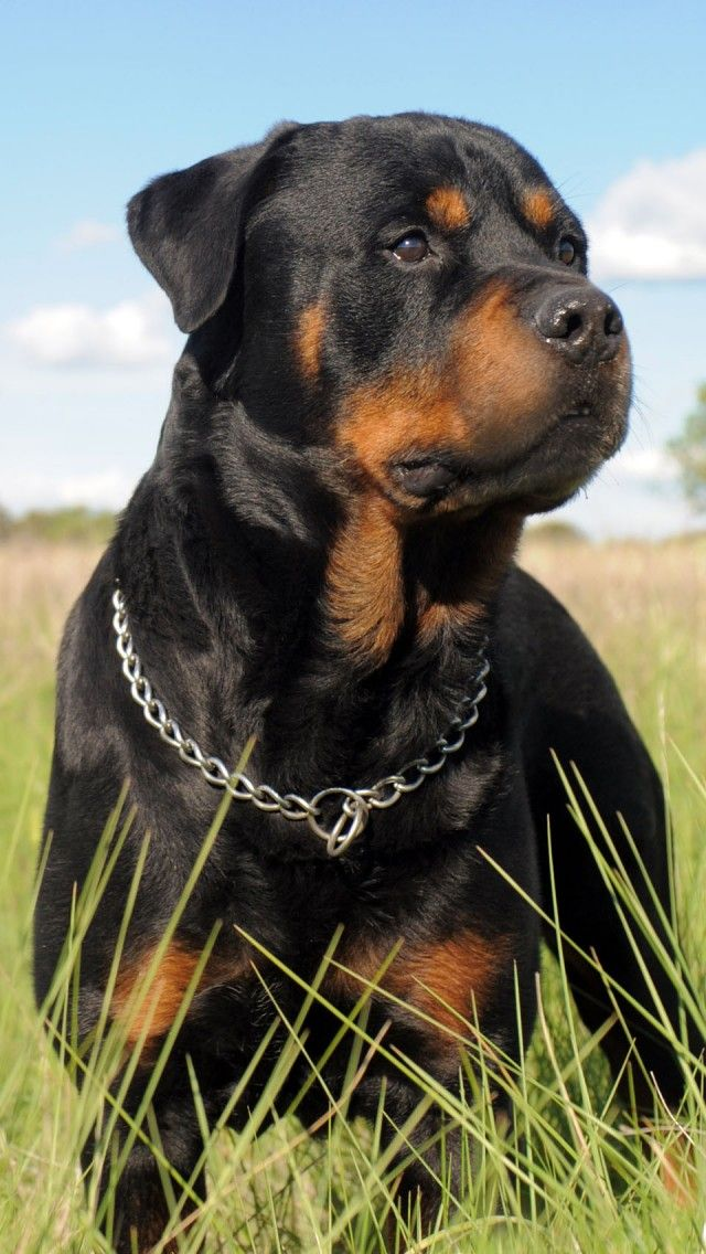 Rottie Iphone Wallpaper Background Rottweiler Dog Dog Breeds Dogs