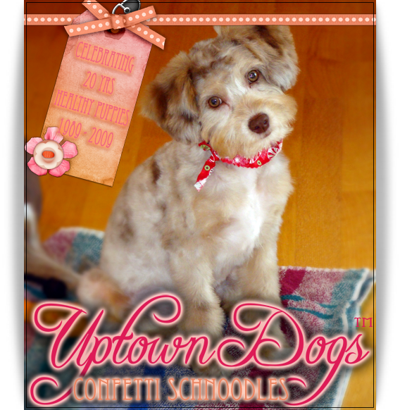 Uptown Dogs Schnoodles Bassetdoodles In Washington State Pacific Northwest This Is Where My Puppy Is Coming From Puppies Dogs Pacific Northwest