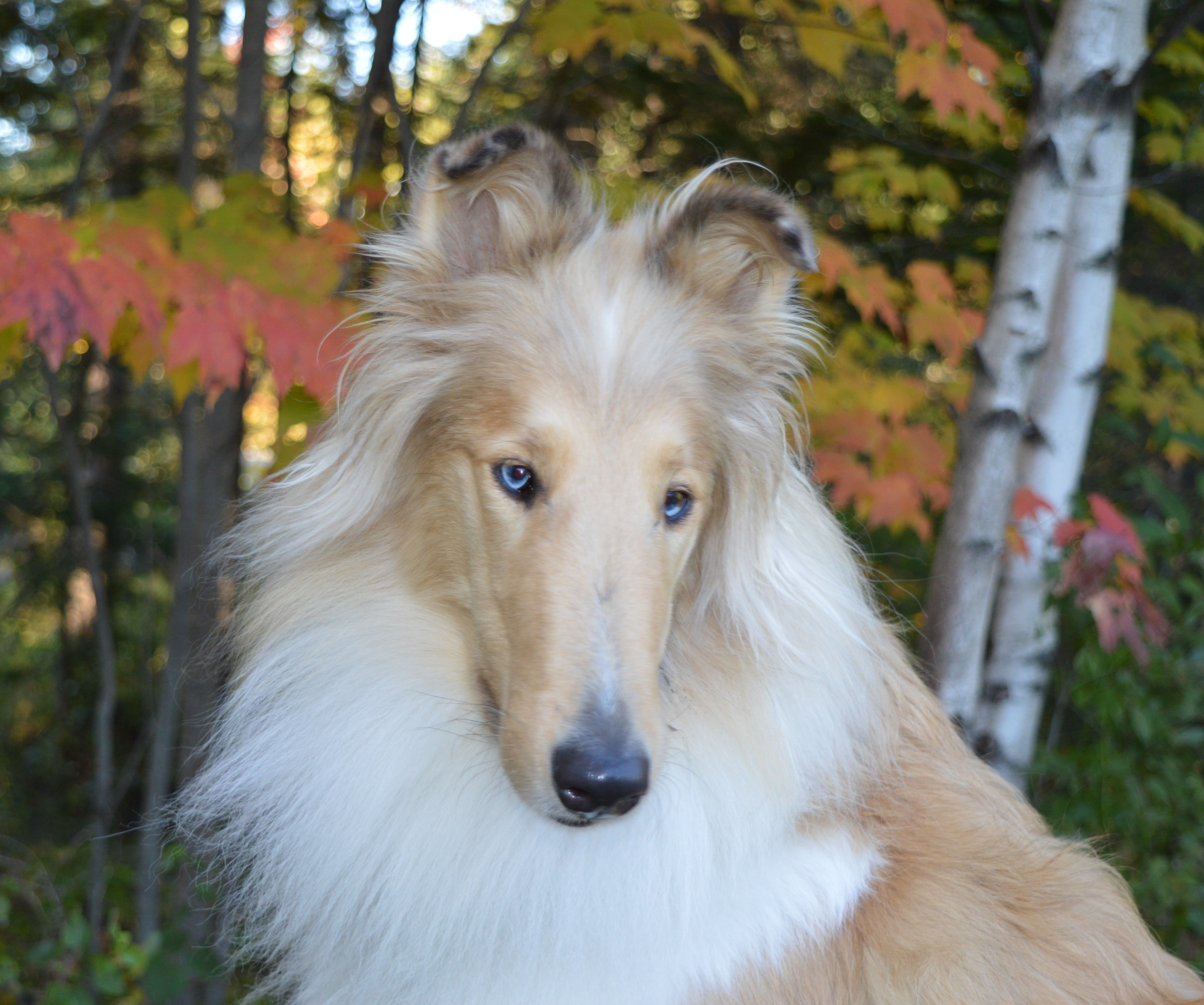 Kelly And Her Blue Eyes Rough Collie Collie Mix Sheltie Dogs