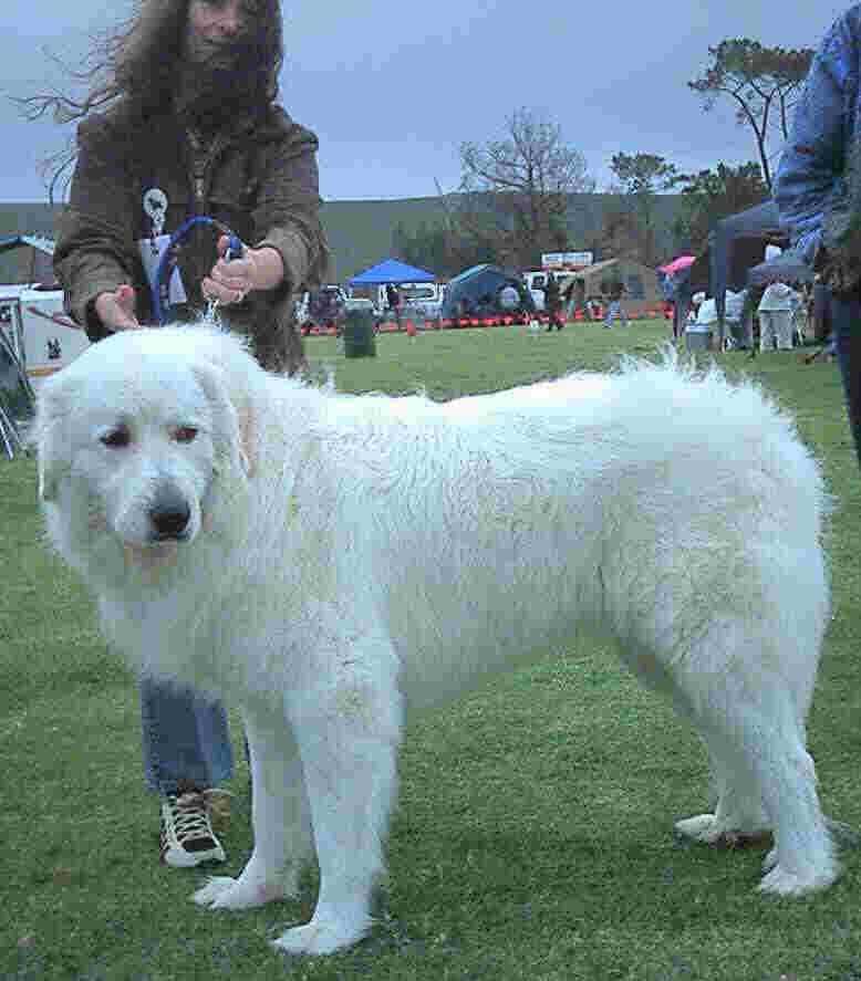 Pyrenean Mountain Dog Pyrenean Mountain Dog Waist High To Owner