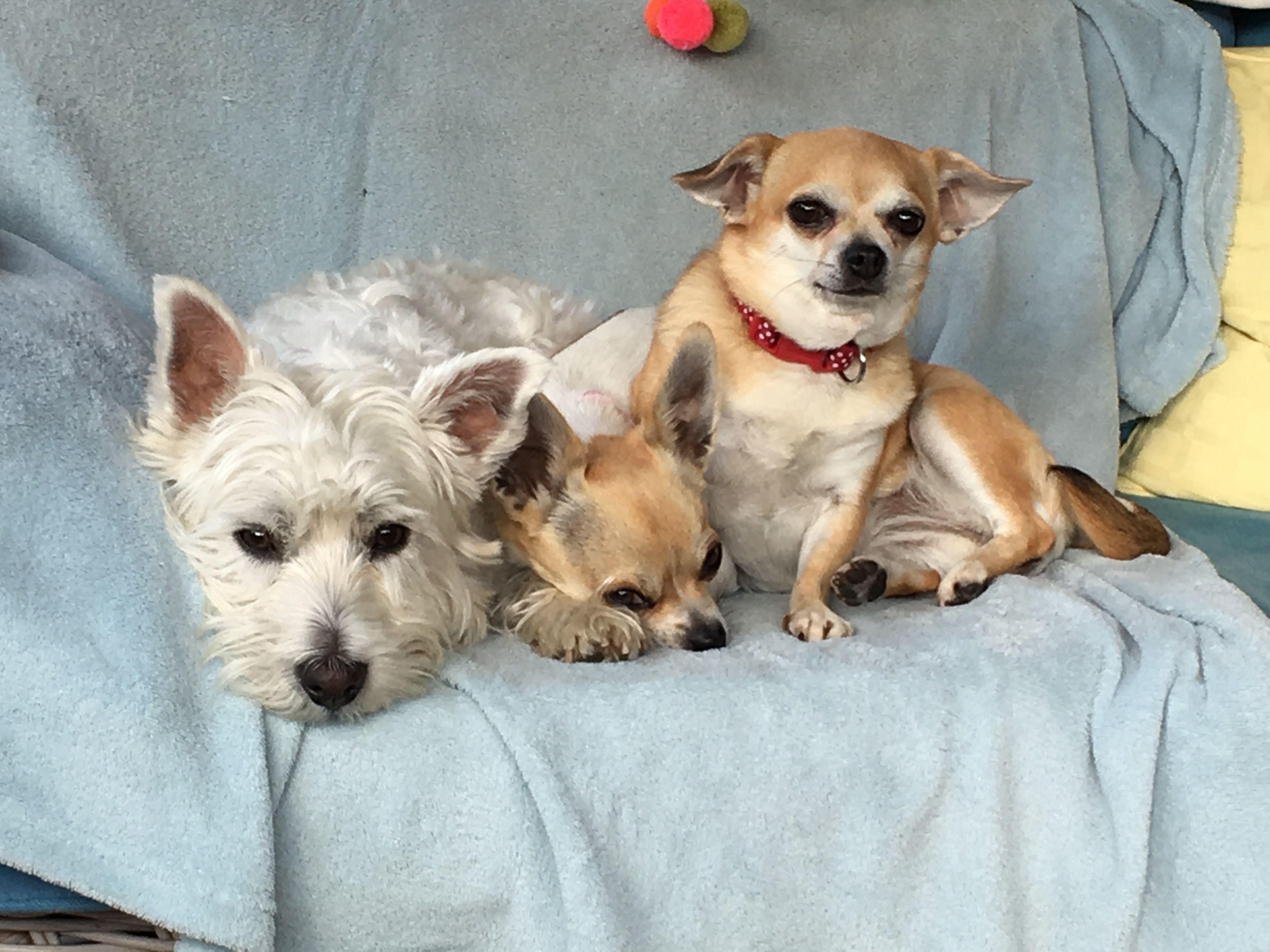 Lab Puppies For Sale In Ohio Craigslist