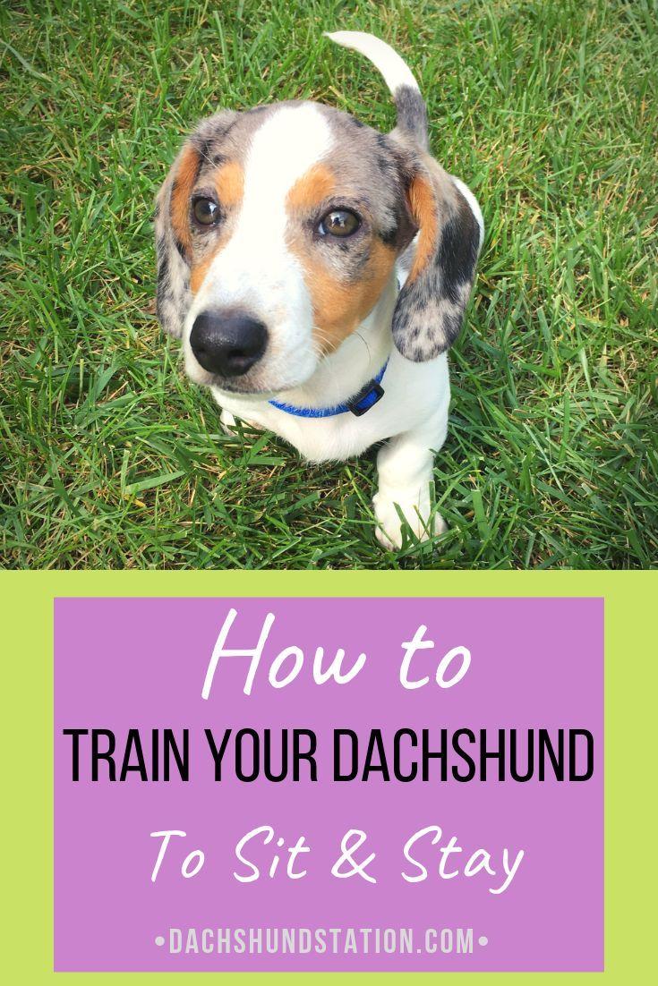 5 easy commands to teach your dachshund dachshund