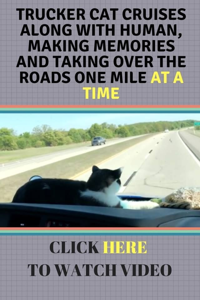 TRUCKER CAT CRUISES ALONG WITH HUMAN, MAKING MEMORIES AND TAKING OVER THE ROADS ONE MILE AT A TIME #animalrescue