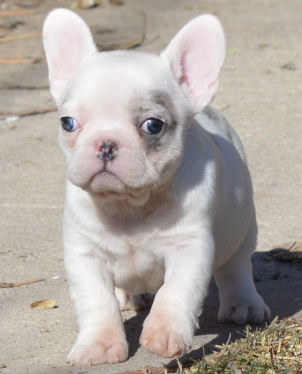 Jax White & Blue Pied Merle Male in 2020 French bulldog